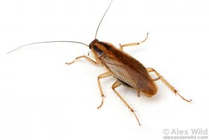 Снимка на хлебарки
